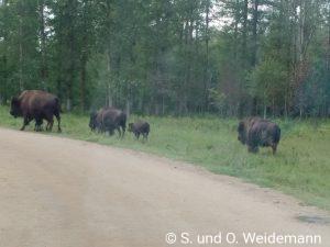 Bison-Kühe mit Ihren Kälbern